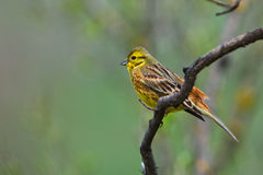 Small yellow wild bird in her natural habitat Stock Images