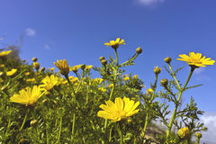 Small yellow wild daisies. Royalty Free Stock Photo