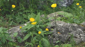 Small yellow wild flower stock footage