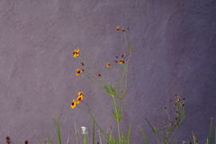 Small yellow wild flowers against the stucco wall Royalty Free Stock Photo