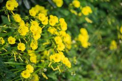 Tiny yellow wild flowers and blurred nature background. Close up view. Stock Photos