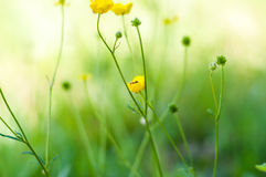 Small yellow wildflowers. Small gilt field flowers on a thin stem and ant stock photo