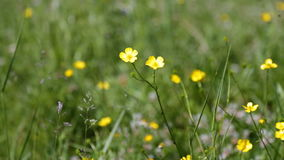 Small yellow wildflowers, a green grass area stock video footage