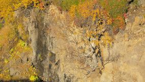 Small yellowed nordic birch is growing from rocks slope, view in sunny day. Autumn nature in Scandinavia stock video footage