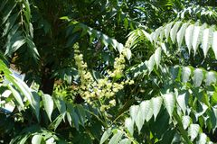 Small yellowish flowers of Ailanthus altissima. In June stock image