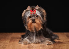 Small yorkie puppy on table with wooden texture. Yorkie puppy on table with wooden texture Royalty Free Stock Photo