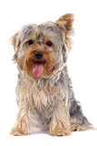 Small Yorkshire Terrier Royalty Free Stock Image