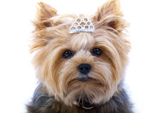 Small Yorkshire Terrier Stock Images