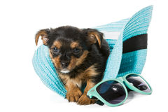 Small Yorkshire Terrier and beach hat Stock Image