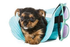 Small Yorkshire Terrier and beach hat Royalty Free Stock Photo