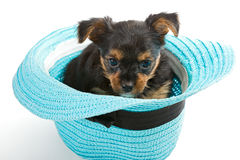 Small Yorkshire Terrier and beach hat Stock Images