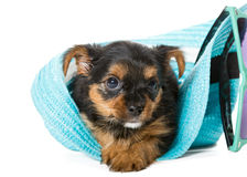 Small Yorkshire Terrier and beach hat Royalty Free Stock Image