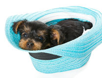 Small Yorkshire Terrier and beach hat Stock Photos