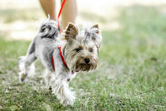 A small Yorkshire Terrier dog on a walk with its owner at summer day. A small Yorkshire Terrier dog on a walk royalty free stock photos
