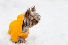 Yorkshire Terrier dog winter walk Stock Photography