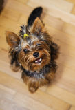 Small Yorkshire terrier. Haircut pet Stock Photo