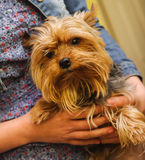 Small Yorkshire terrier in a hands Royalty Free Stock Images