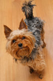 Small Yorkshire terrier looking up and yap Royalty Free Stock Images