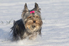 Small yorkshire terrier is running in the snow Royalty Free Stock Photo