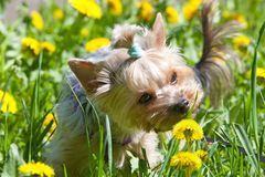 Small yorkshire terrier smelling flower on walk Stock Photography