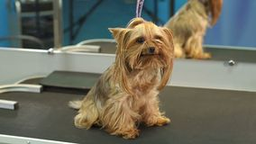 A small Yorkshire Terrier stands on a table in a veterinary clinic. Portrait of a small dog in the hospital on the table before examination. Vet concept stock video