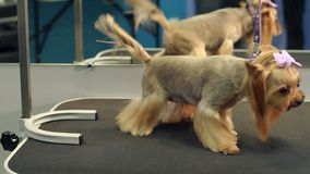 A small Yorkshire Terrier stands on a table in a veterinary clinic. Portrait of a small dog in the hospital on the table before examination. Vet concept stock footage