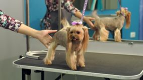 A small Yorkshire Terrier stands on a table in a veterinary clinic. Portrait. Of a small dog in the hospital on the table before examination. Vet concept stock video