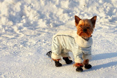 Small yorkshire terrier in suit on winter walk Stock Photography