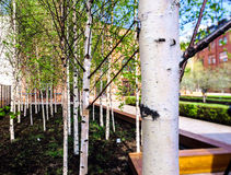 Small young birch in spring city park Stock Image