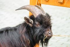 Small Young Black Goat Eats Hay Stock Photo