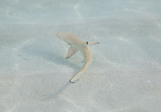 A small young black tip Royalty Free Stock Photography