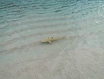 Small young black tip reef sharks Stock Photo