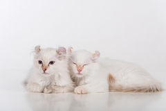 Small and Young Bright White Lovely American Curl Cats Couple Sitting on the white table. White Background. Stock Images