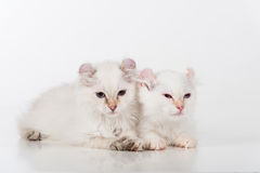 Small and Young Bright White Lovely American Curl Cats Couple Sitting on the white table. White Background. Royalty Free Stock Image