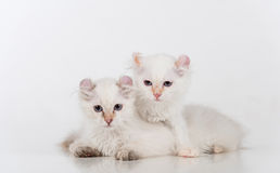 Small and Young Bright White Sad American Curl Cats Couple Sitting on the white table. White Background. Stock Photography