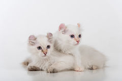 Small and Young Bright White Sad American Curl Cats Couple Sitting on the white table. White Background. Royalty Free Stock Images