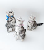 Small young cats with striped fur Royalty Free Stock Image