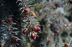Small young cones on a branch of a blue spruce Stock Photos