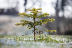 Small conifer tree in garden Royalty Free Stock Photography