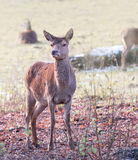 A small young deer. A close up of a small young deer Stock Image