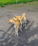 Small young deers group animals farm. Small young deers group of animals at the animal farm stock photo