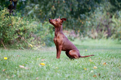 Small, young dog Royalty Free Stock Photography