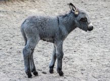 Small young donkey Royalty Free Stock Image