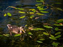 Small young duck swimming in a leaf covered pond royalty free stock photography