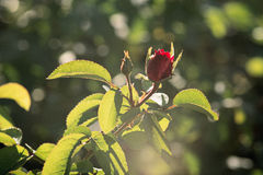 Small Young Flower of Red Rose on a Bush Backlit by Morning Sunshine, blurred background Royalty Free Stock Photos