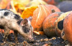 Small young funny dirty pink and black pig piglet feeding outdoors on sunny farmyard on background of pile of big pumpkins. Sow. Farming, natural food royalty free stock photo