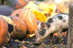 Small young funny dirty pink and black pig piglet feeding outdoors on sunny farmyard on background of pile of big pumpkins. Sow. Farming, natural food royalty free stock photography