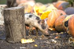 Small young funny dirty pink and black pig piglet feeding outdoors on sunny farmyard on background of pile of big pumpkins. Sow. Farming, natural food royalty free stock photos