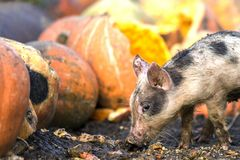 Small young funny dirty pink and black pig piglet feeding outdoors on sunny farmyard on background of pile of big pumpkins. Sow royalty free stock images