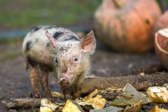 Small young funny dirty pink and black pig piglet feeding outdoors on sunny farmyard on background of pile of big pumpkins. Sow. Farming, natural food stock photo